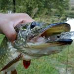 На щуки рыбалка троллингом