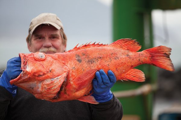 Красный морской окунь