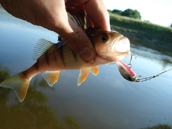На что ловить окуня? Обзор приманок! Мы научим Вас ловить рыбу!