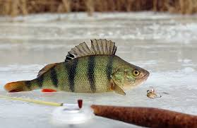 Окуни зимой любимая рыбка