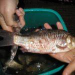 Хранение рыбы всвежем виде