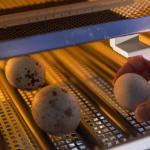 Инкубационное яйцо утки кряквы