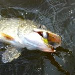 Осенняя щука в СПб и РФ секрет ловли на дорожку в Ладожском озере